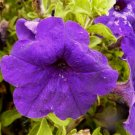 PETUNIA 'Midnight Madness' ANNUAL Seeds GREAT Color