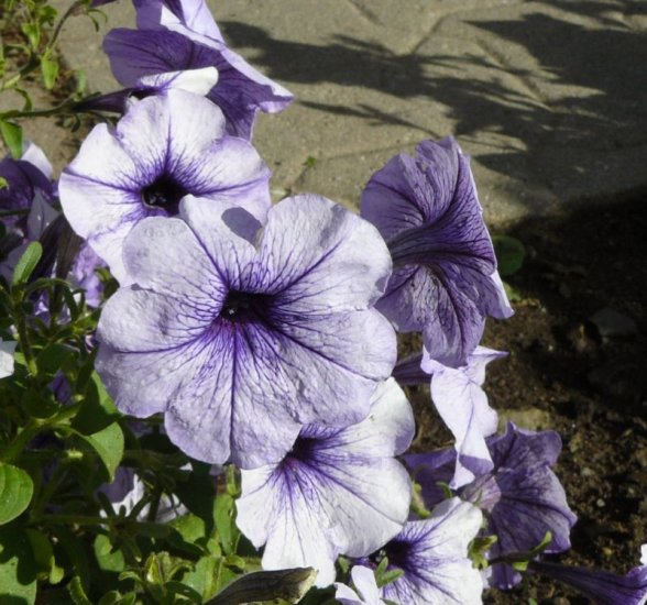 GREAT PERFORMANCE Petunia 'Plum Madness' ANNUAL See