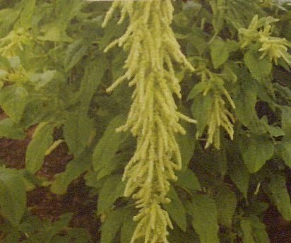 TRAILING GREEN ROPES Amaranthus Green Tails ANNUAL