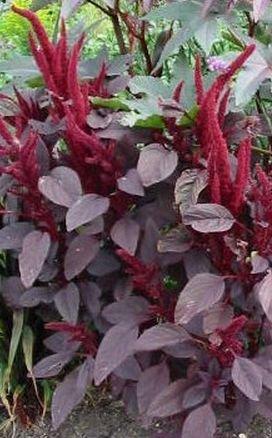 IMPRESSIVE FOLIAGE Amaranthus Velvet Curtains Annual