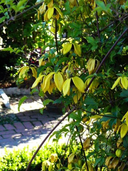 PERENNIAL VINE Clematis 'Helios' Seed THE BEST YELLOW