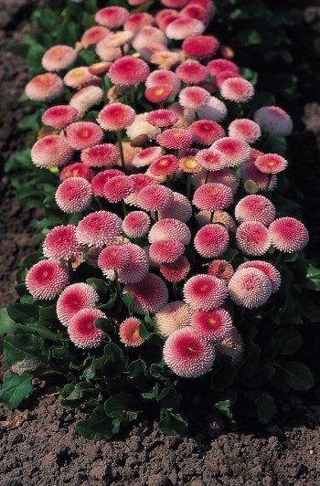 PERENNIAL Strawberry & Cream BELLIS Stunning! Seeds