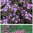 LOW CREEPING Thyme PERENNIAL 'Magic Carpet' SEEDS
