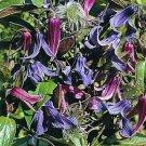 DWARF Clematis 'Bells' Perennial VINE Seeds
