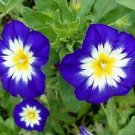 STRIKING DWARF MORNING GLORY 'Royal Ensign' VINE Seeds
