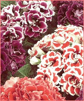 FREE FLOWERING Gloxinia 'EMPRESS MIXED' Seeds ANNUAL