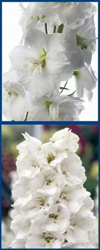 Dwarf Delphinium WHITE 'Catherine' Series PerennialSEED