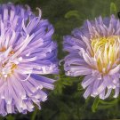 EXQUISITE Ostrich Feather Blue ASTER Annual SEEDS