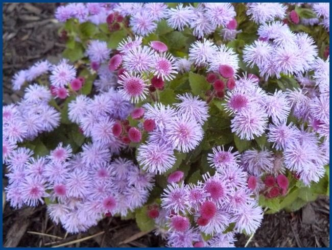 BLUE MINK Ageratum VERY VIGOROUS & COMPACT Annual SEEDS