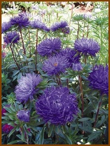 CLAW-LIKE PETALS Aster 'Pavlova Dark Blue' Annual SEEDS