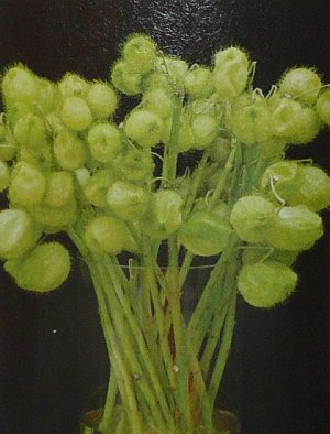 USED IN MODERN FLORAL DESIGN Gomphocarpus ANNUAL Seeds