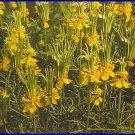 WEIRD SEED POD! Nigella 'Transformer' ANNUAL Seeds