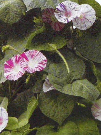 CARNEVALE DI VENEZIA Morning Glory VINE Seeds