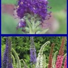 GREAT SPIKES Veronica 'Sightseeing Mix' PERENNIAL Seeds