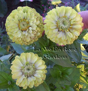 Some Shade Tolerant GREEN ZINNIA Double Envy Annual