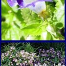 WISHBONE FLOWER 'Duchess Mix' Torenia ANNUAL Seeds