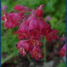 HEUCHERA 'Sanguinea Crimson' Perennial SEEDS Oustanding