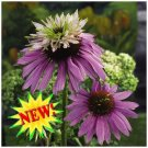 NOW AVAILABLE FROM SEED! Echinacea 'DOUBLE DECKER'
