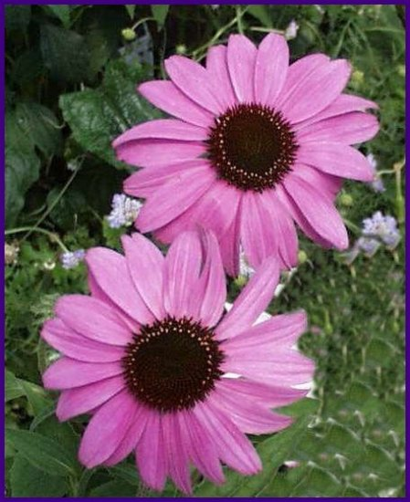 Lavender-Pink RUDBECKIA 'Bright Star' SEEDS Perennial