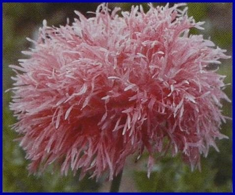 VENUS Papaver Poppy Feathery Blooms ANNUAL Seeds