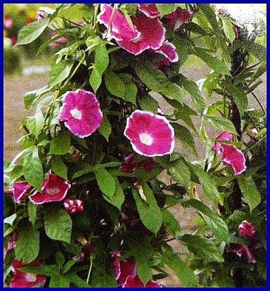 RARE Morning Glory RED PICOTEE VINE Seeds ANNUAL