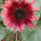 LATEST INTRO Sunflower CHERRY ROSE Seeds ANNUAL