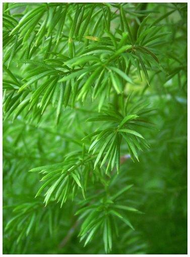 EMERALD FEATHER Asparagus sprengeri ANNUAL seeds