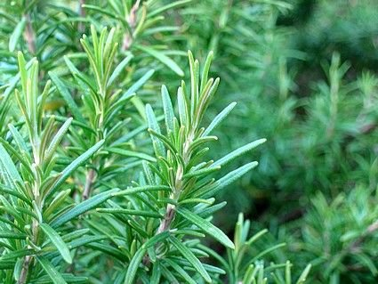 Fragrant Rosemary Perennial HERB seeds