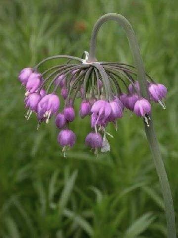 Umbrella-like flower NODDING WILD ONION Seeds PERENNIAL
