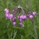 Umbrella-like flower NODDING WILD ONION Seeds PERENNIAL