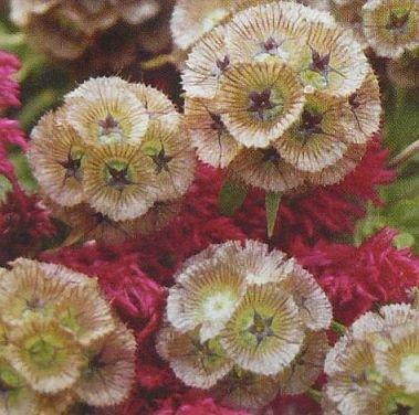 LONGLASTING CUT FLOWER Scabiosa PINGPONG Annual SEED