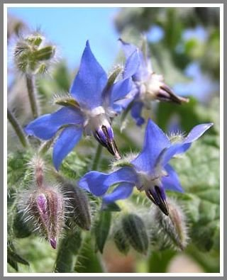 Attracts Bees! HERB Borage 'Borago officialis' Seeds