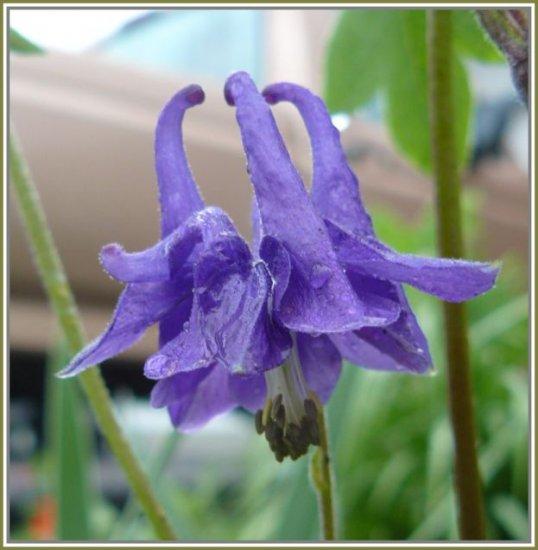 COLUMBINE Aquilegia 'Purple Self NOID' PERENNIAL Seeds