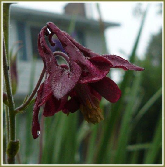 COLUMBINE 'Dk Burgundy Self NOID' PERENNIAL Seeds
