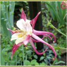 COLUMBINE 'Pink/Cream NOID' PERENNIAL Seeds