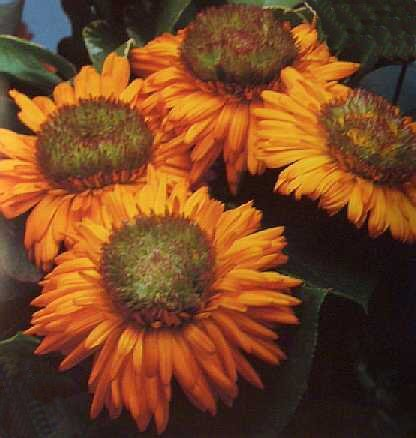 GREENHEART ORANGE Calendula ANNUAL seeds NEW