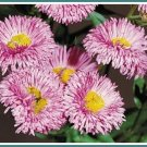 HEAT DROUGHT TOLERANT Daisy Fleabane PERENNIAL seeds
