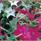 Star-shaped Nicotiana Sensation MIXED Annual Seed