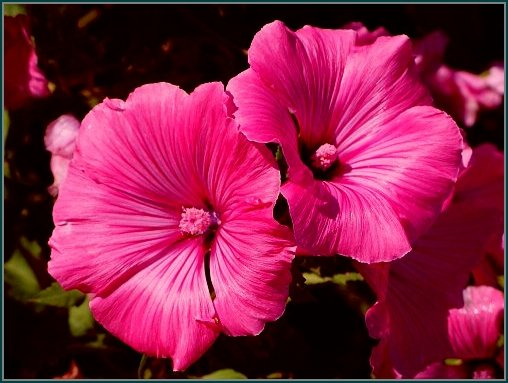 HOLLYHOCK-SHAPED Lavatera 'Loveliness' ANNUAL Seeds