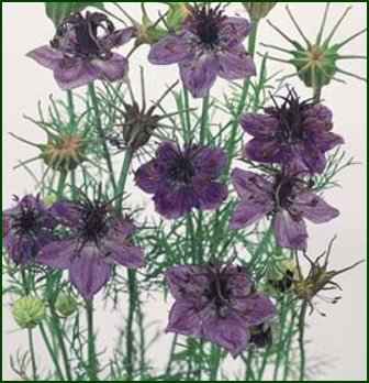 GREAT FOR CUTTING Love-In-A-Mist 'EXOTIC' Annual SEEDS