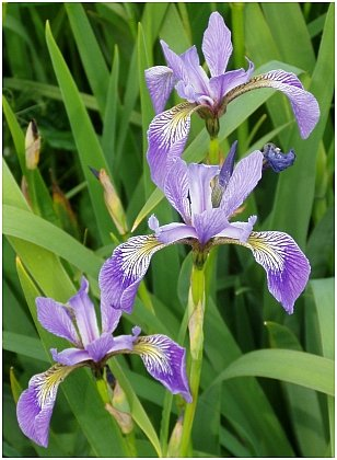 PART OF OUR HERITAGE Blue Flag Iris PERENNIAL Seeds