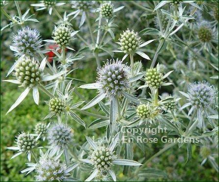 AWE-INSPIRING Sea Holly ERYNGIUM Perennial Seeds