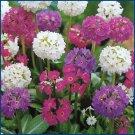 GLOBULAR FLOWERS Primula 'Ronsdorf Mix' PERENNIAL Seeds