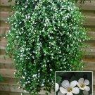 Bacopa 'Bluetopia' (Bacopa setura cordota) ANNUAL