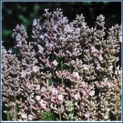 LAVENDER 'Pink Perfume' AROMATIC Perennial SEED