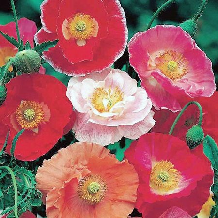 Delicate DOUBLE SHIRLEY MIXED Poppy Annaul SEED