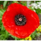 FLANDERS FIELD Corn Poppy LONG BLOOMING Annual SEEDS