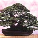 MAKES CLASSIC BONSAI Oriental Oak Tree Casuarina SEEDS