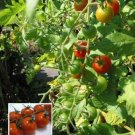 GROW TOMATOES ANYWHERE! Tiny Tim DWARF Vegetable SEED