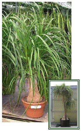 FANTASTIC INDOOR PLANT Elephant Foot Palm SEEDS Tree